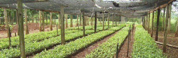 Yerba Mate Nursery