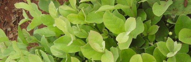 Yerba Mate Plant